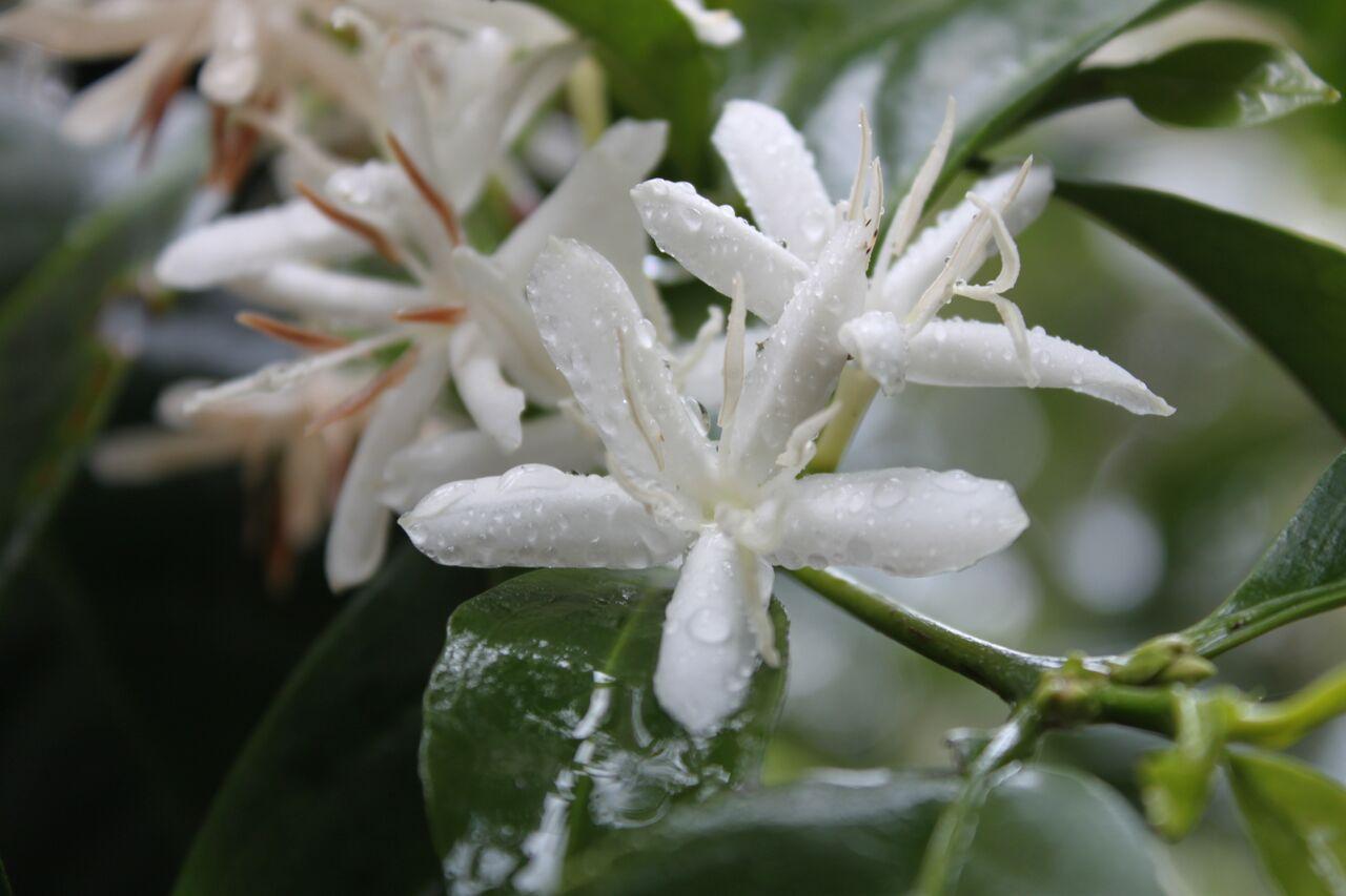 巴拿馬 翡翠莊園 藍寶石blue Sapphire Flower 2 2014 May