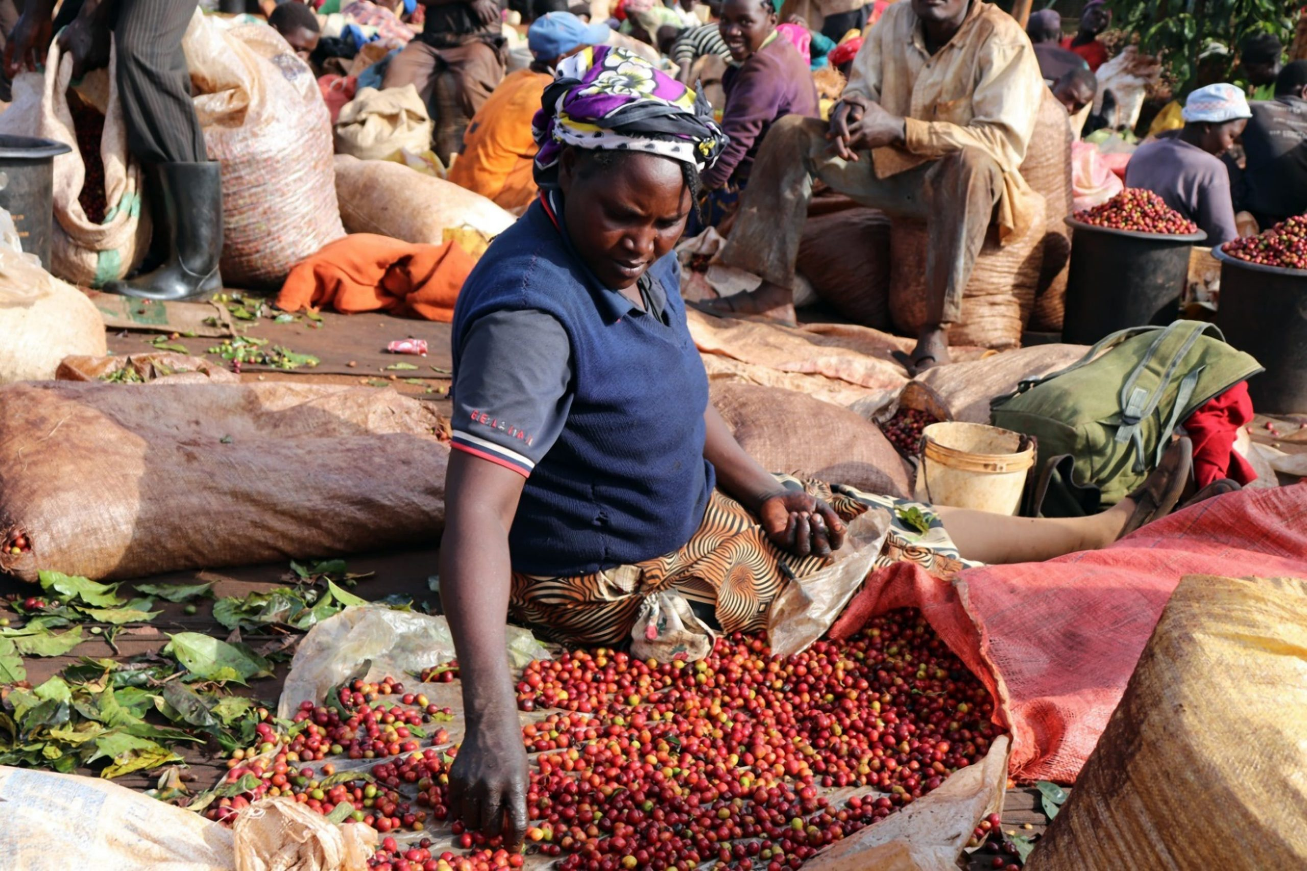 Kenya Cherry Sorting