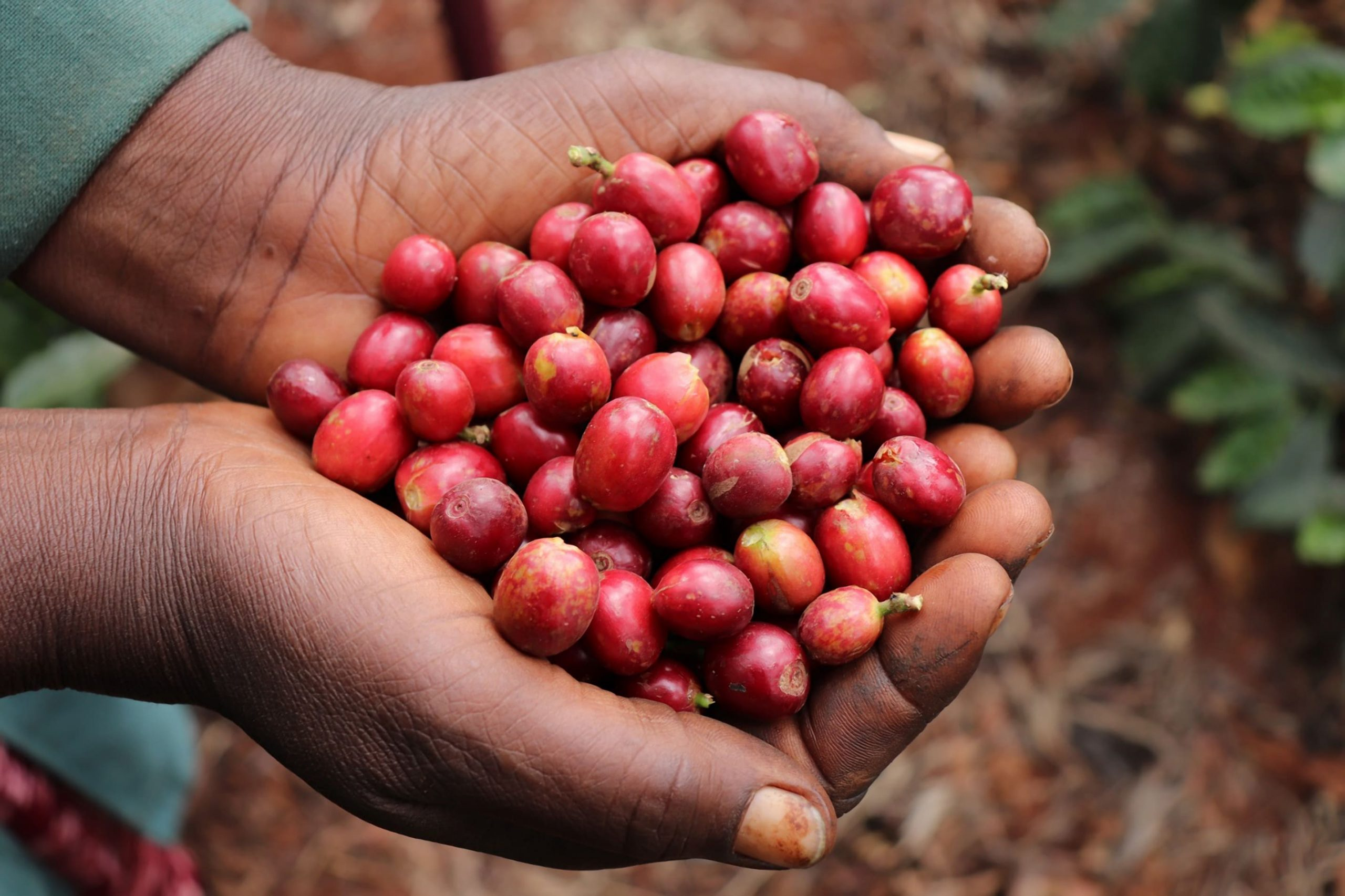 Kenya Red Cherries