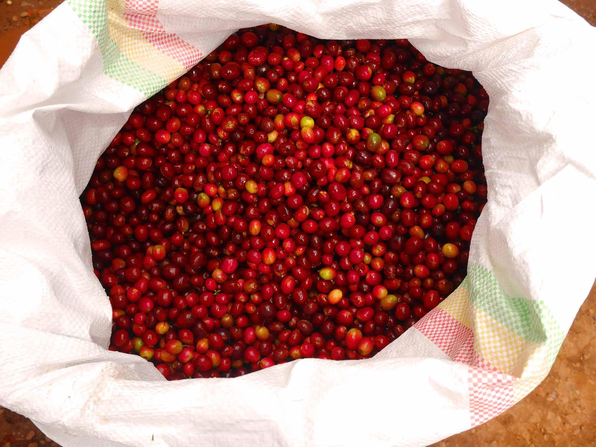 A 盧安達穆莎莎 Musasa Cherries拷貝