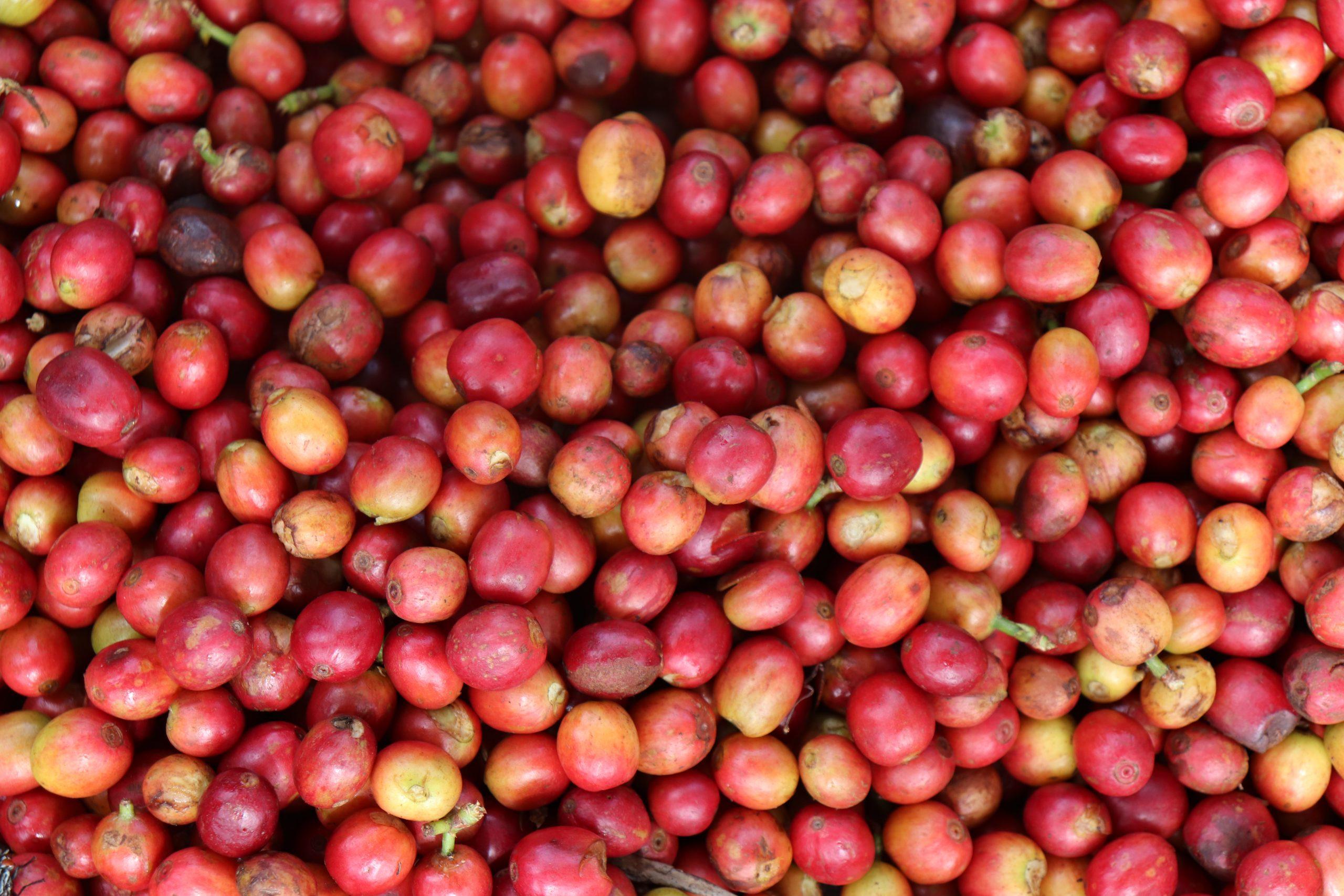 Red Cherries Karatina 1