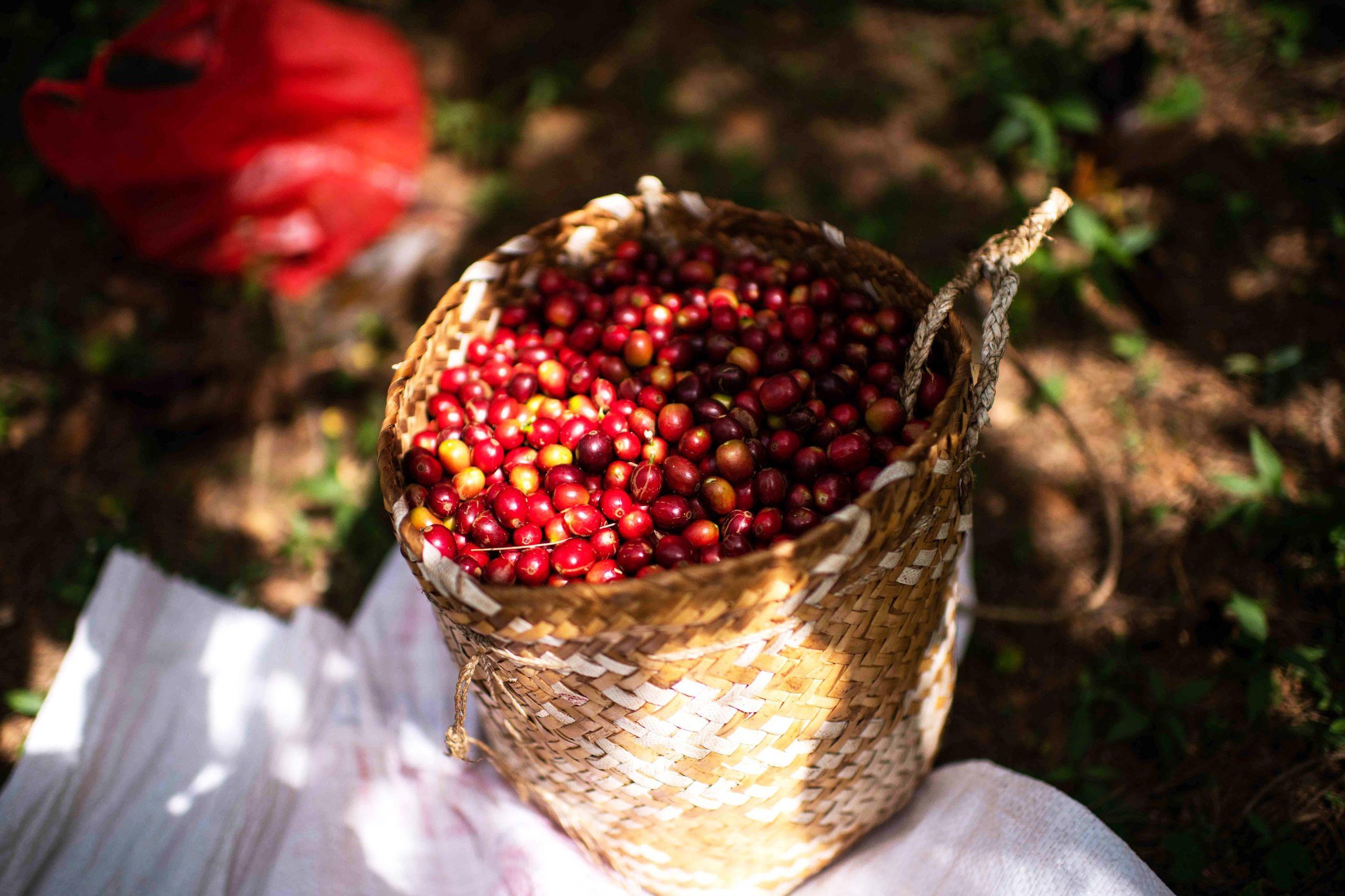 「coffee Cherry.jpg」のコピー