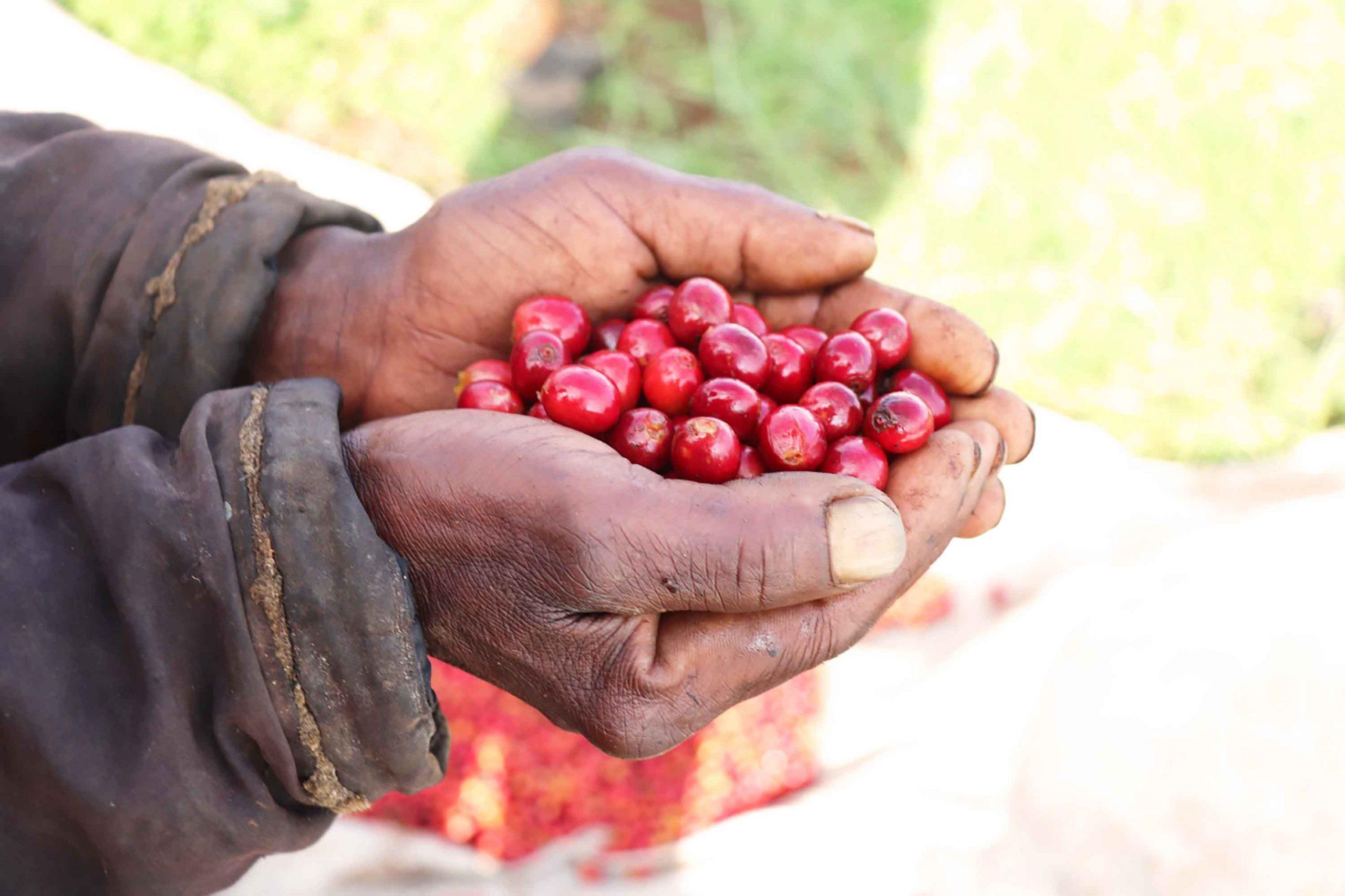 Red Cherries Gaturiri拷貝