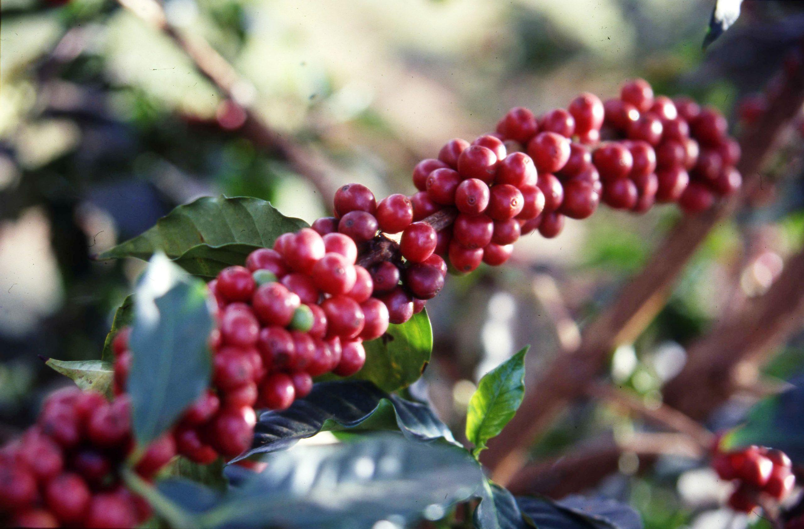 Red Cherries Gachuiro